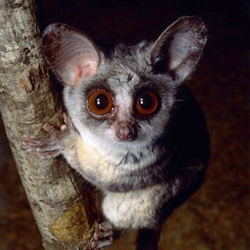 Senegal bush baby-powerful ace jumpers! - Trs zone
