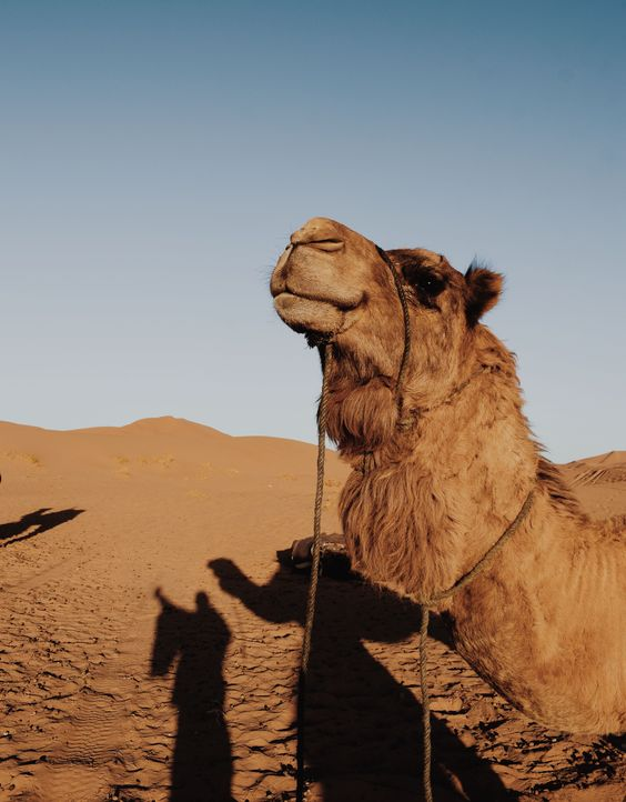 camels magnificent animal