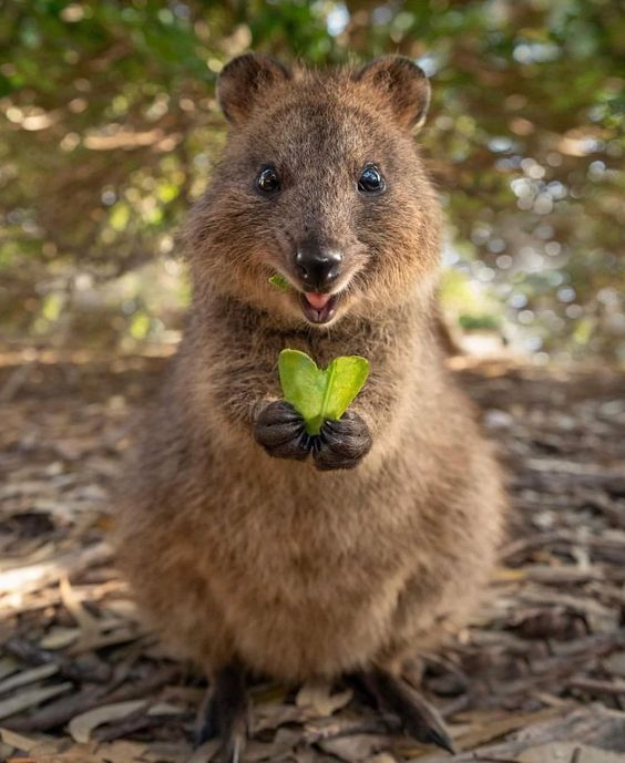 Quokka can live without water for a long time! - Trs zone